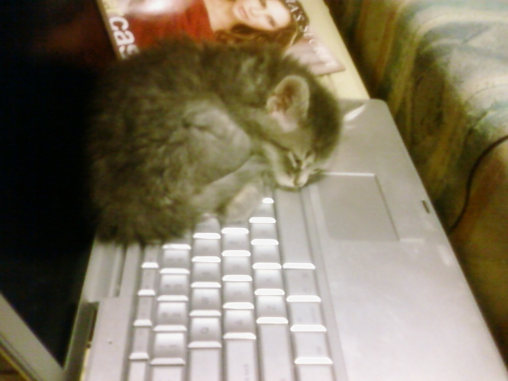 Kali_Kitten_Cats_Like_Computers