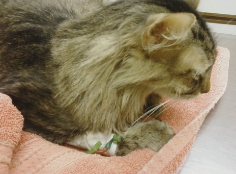 Chase_Hospital_Cats_Swallow_String