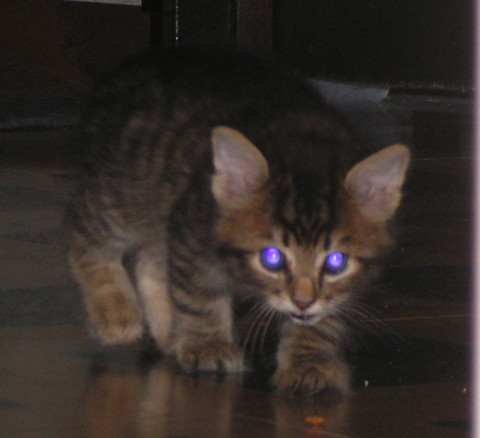 Chase_Kitten_Cats'_Eyes_Glow