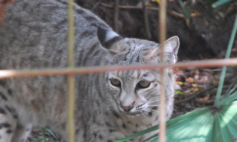 Bobcat Kitten Remains