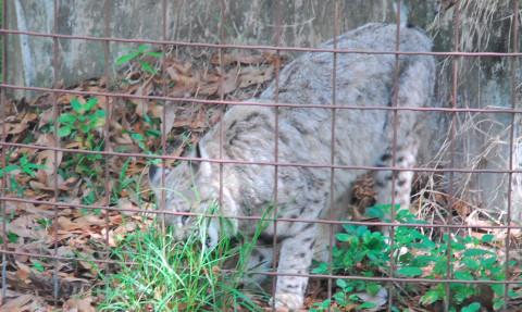 Bobcat BCR bobcat kitten remains