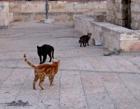 More_Cats_Of_Jerusalem_Israel_Deporting_Cats