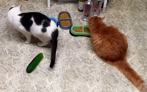 Cats_and_Cucumbers_2