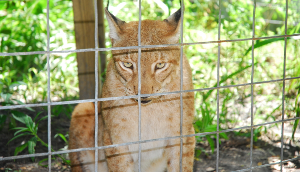 Iberian lynxes